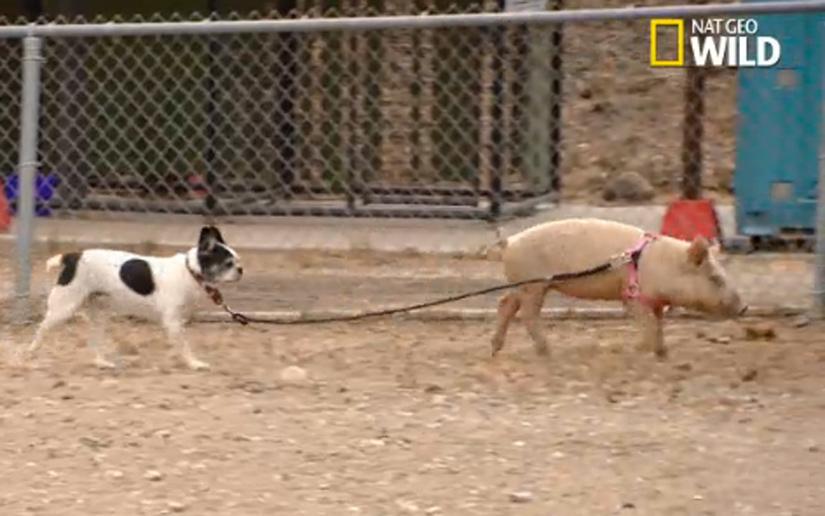 cesar-millan-dog-pig