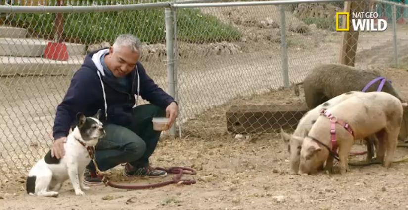 cesar-millan-pigs