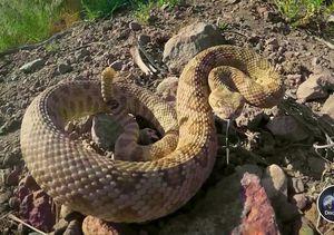 Venomous Snake Rattles 'Gold Rush' Crew