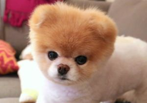 Dog Gone! 'World's Cutest Dog' Boo Dead at 12